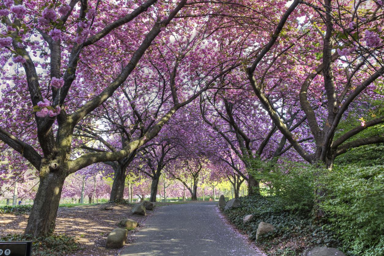 The Sakura Matsuri Cherry Blossom Festival image