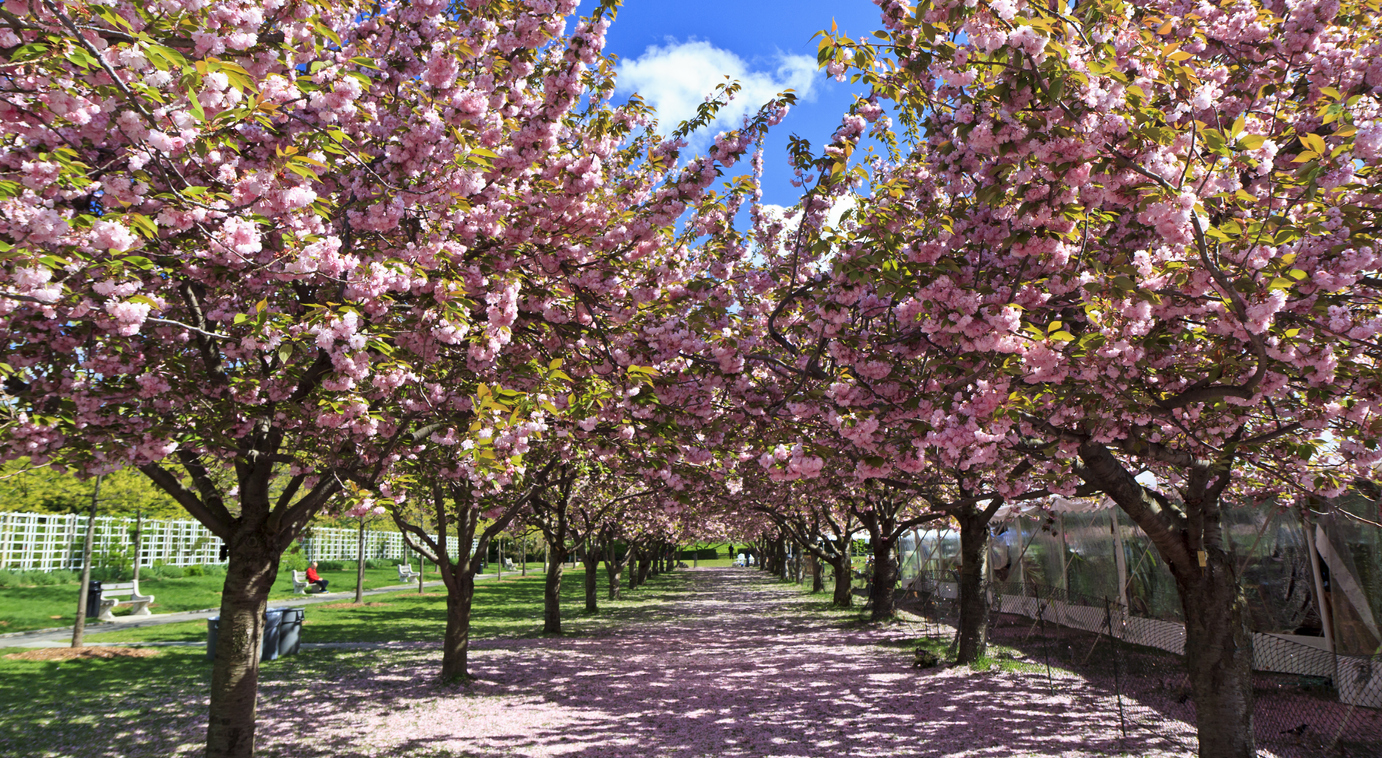 Nouvel Sakura Matsuri 2019 - Brooklyn Botanic Garden - Around the Block LL-19